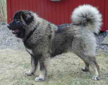 Kennel Cevan Caucasian Sheep Dog