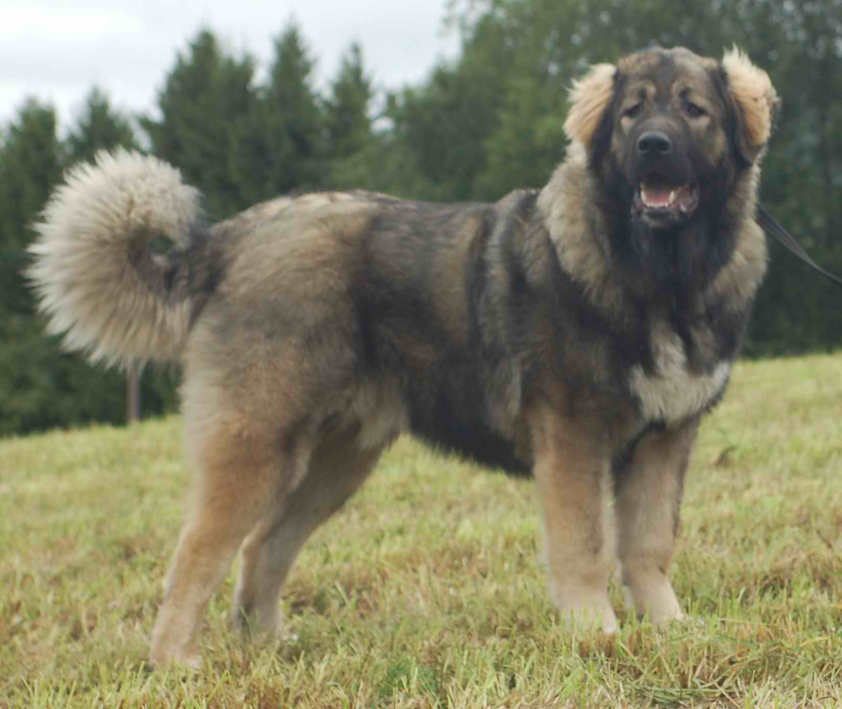 Russian Bear Dog For Sale