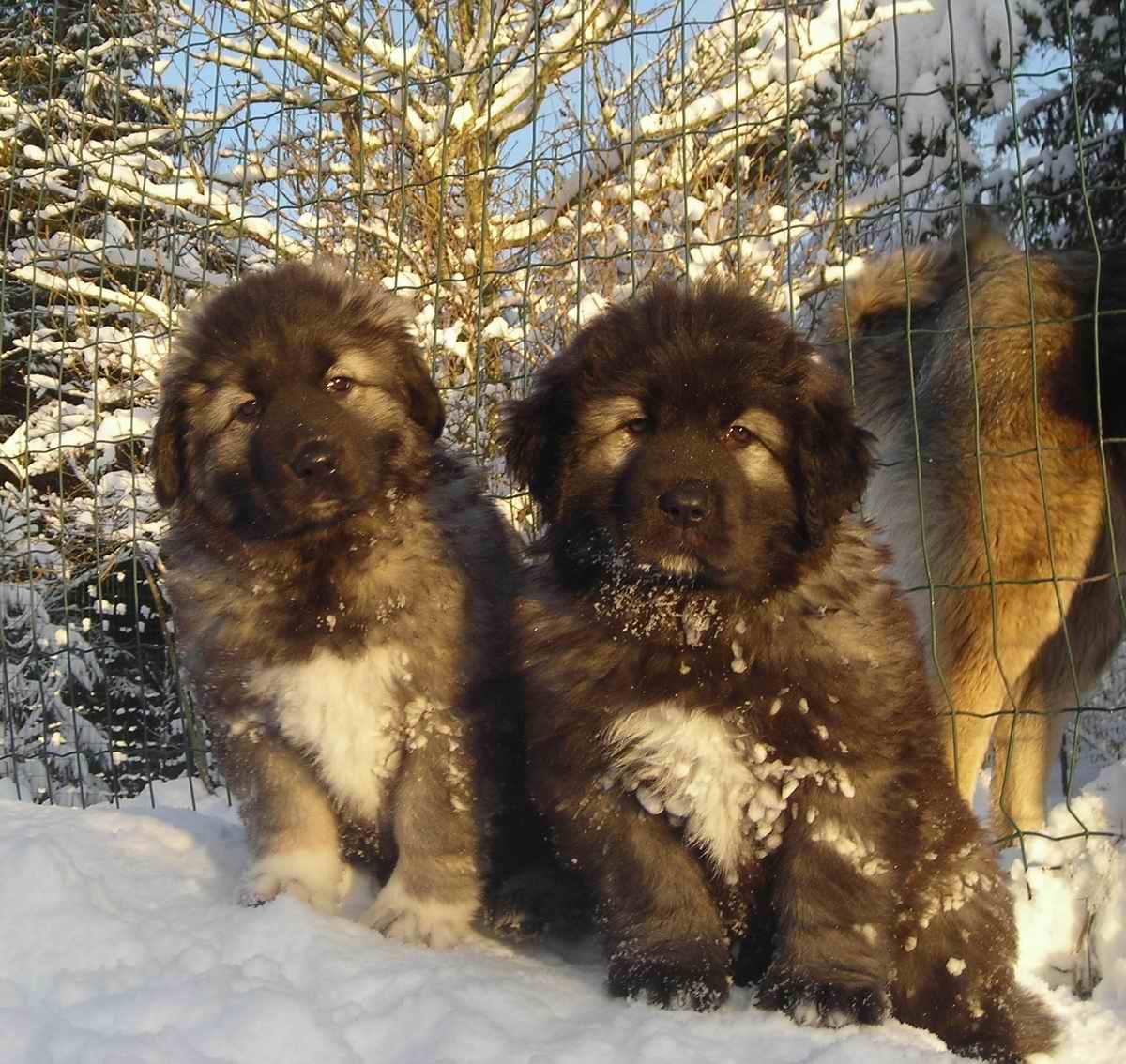 View topic - Caucasian Ovcharka & Sarplaninac dogs ...